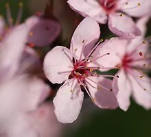 Pink Blossom #1 by Martina Fagan