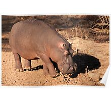 Oncoming traffic, Kruger National Park, South Africa Poster