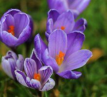 Purple Spring Crocuses by rumisw