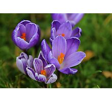 Purple Spring Crocuses Photographic Print