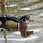 Wood Duck by Carole Brunet