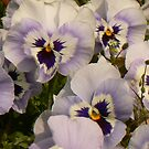 Pansies by Finbarr Reilly