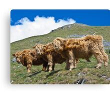Highland cattle all in a row Canvas Print