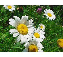 Pretty Daisies Photographic Print