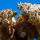 Friendly curious highland cattle by GrahamCSmith