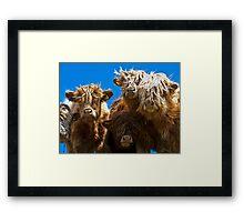 Friendly curious highland cattle Framed Print