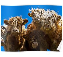 Friendly curious highland cattle Poster