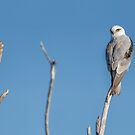Black shouldered kite by ThisMoment