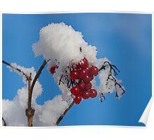 Winter Berries in Snow Poster