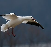 Snow Goose Flying by Michael Mill