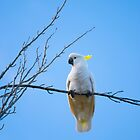 Sulphur Crested Cockatoo Serenity by Anthony Davey