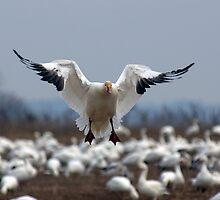 Snow Goose Landing by Michael Mill