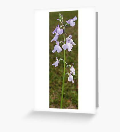 Toadflax - Linaria canadadensis Greeting Card