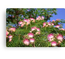 Spring Mimosa Blooms Canvas Print