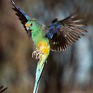 Mulga Parrot Preparing to Land by Steven Pearce