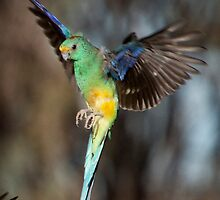Mulga Parrot Preparing to Land by Steven Pearce