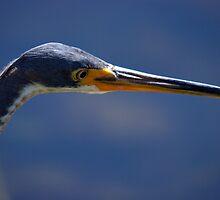 Little Blue Heron by Stephen Beattie