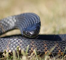 Tasmanian Tiger Snake Flat out by Thow's Photography