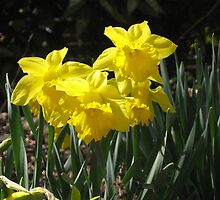 Narcissus, Van Vorst Park by Jim Legge