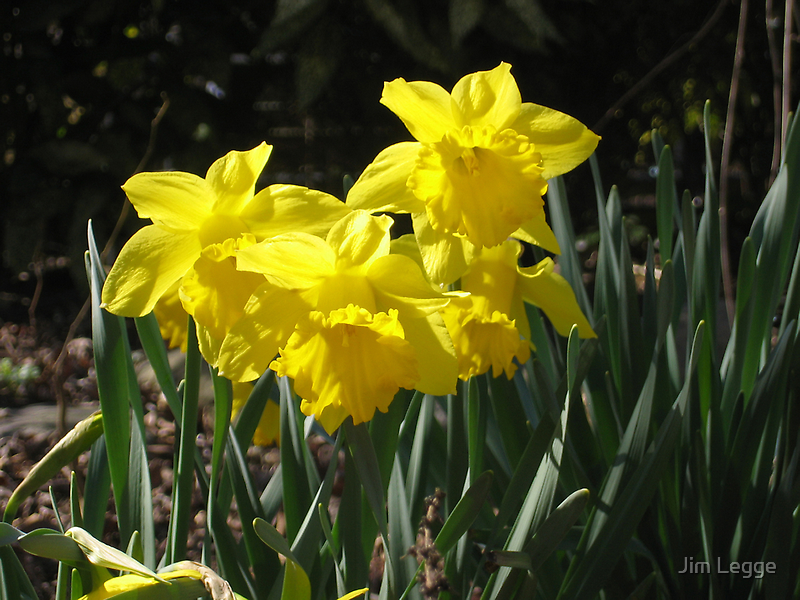 Narcissus, Van Vorst Park by Jim Legge