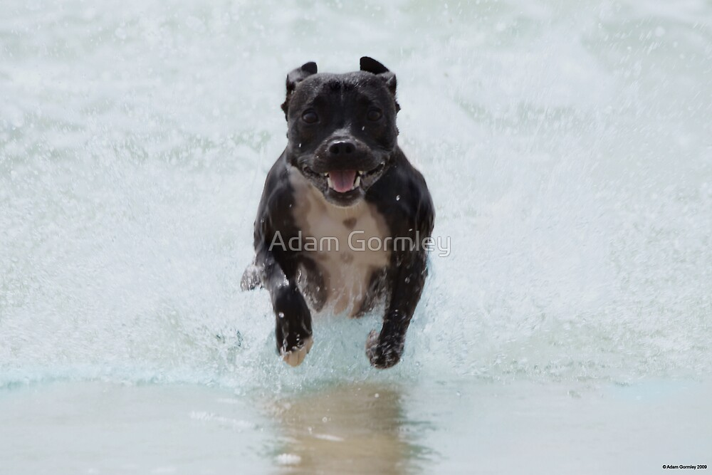 Staffie Power by Adam Gormley