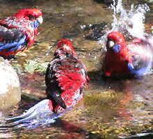 Rosella Pool Party by Shane Meyer