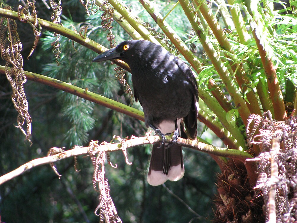 Cunning Currawong by Shane Meyer