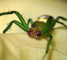 Kidney Garden Spider by Aaron Murgatroyd