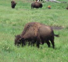 Buffalo Bison Herd Grazing Sticker