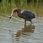 Reddish Egret by SuddenJim
