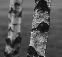 Birch Bark by melissaday