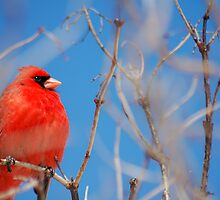 Proud Cardinal by Crystal Wightman