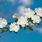 Bridal Wreath Bough Against the Sky by Bonnie T.  Barry