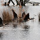 Canada Geese leaving Shapwick by SWEEPER