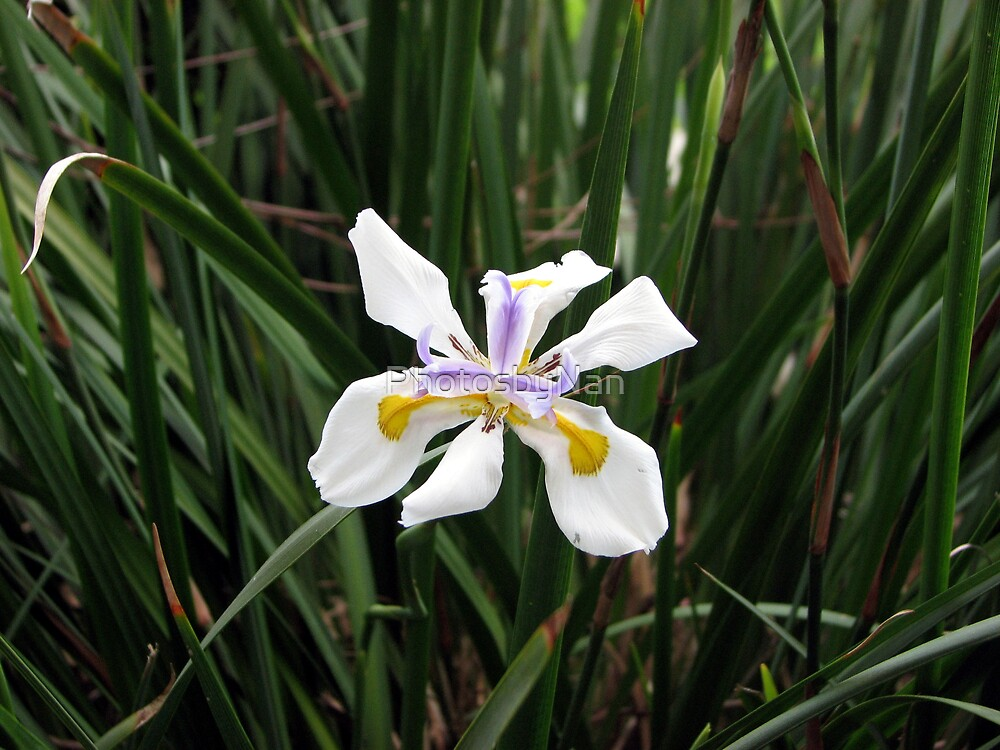 A Flower in My Garden by PhotosbyNan