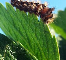 Caterpillar on the strawberry leaf by Laci99