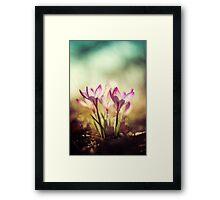 Violet crocuses in the morning sunlight Framed Print