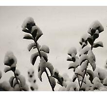 Azalea Photographic Print