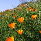 Field of Poppies by Kimberly Palmer