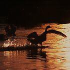 Swan Silhouettes by Martina Fagan