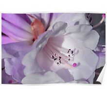Pretty White Rhododendron with Magenta Poster