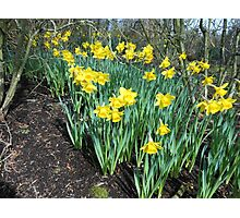 Bed of Daffodils Photographic Print