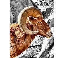Bighorn Photographic Print