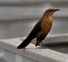 Grackle for the camera... by Daphene