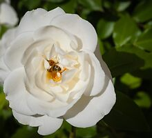 White Rose and Friend by Dennis Reagan