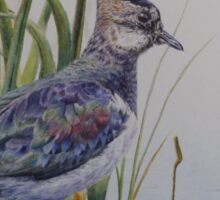 Lapwing and chick Sticker