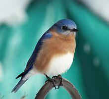 Male Eastern Bluebird by riverlady