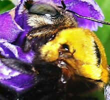 Bumble Bee Close Up by bowenite