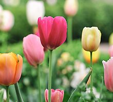 Spring Tulips by monicamurphy