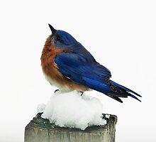 Eastern Male Bluebird on Snow by riverlady